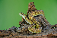 489040003 a captive broadleys bush viper atheris broadleyi sits coiled on a tree limb species is native to africa