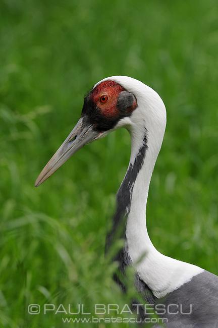 White Naped Crane (Grus vipio)