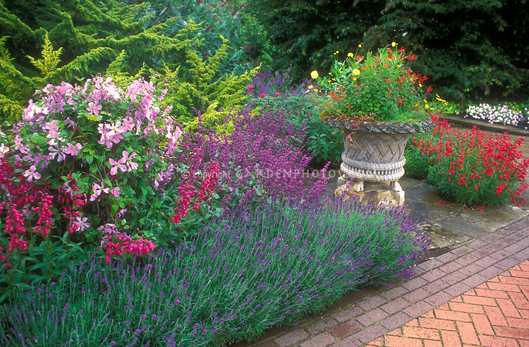 Pretty flower border: Penstemons 'Schoenholzeri' & 'Andenken an Friedrich Hahn, Lavendula 'Loddon Blue' lavender herbs in bloom, container pot, Clematis vine