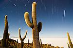 Bolivia, Altiplano, Salar de Uyuni, rare cacti (Echinopsis tarijensis) on Isla Inkahuasi in Salar de Uyuni; long night exposure at full moon: startrails: Salar de Uyuni is the world's largest salt flat