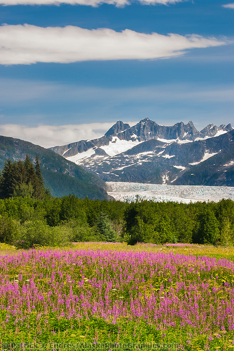 Fireweed blooms in Brotherhood park, with the Mendenhall glacier flowing out of the Coast mountains in the distance.  The glacier originates on the western snowfields of the Taku Range at an elevation of 5,500 feet and flows down to 100 feet above sea level.