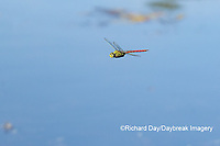 06362-00117 Comet Darner (Anax longipes) in flight at wetland Marion Co. IL