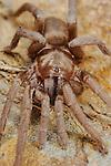 Tarantula (Ischnocolus triangulifer), a Theraphosid endemic to Sicily, Italy