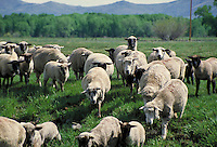 sheep being herded through pasture towards camera. Colorado.