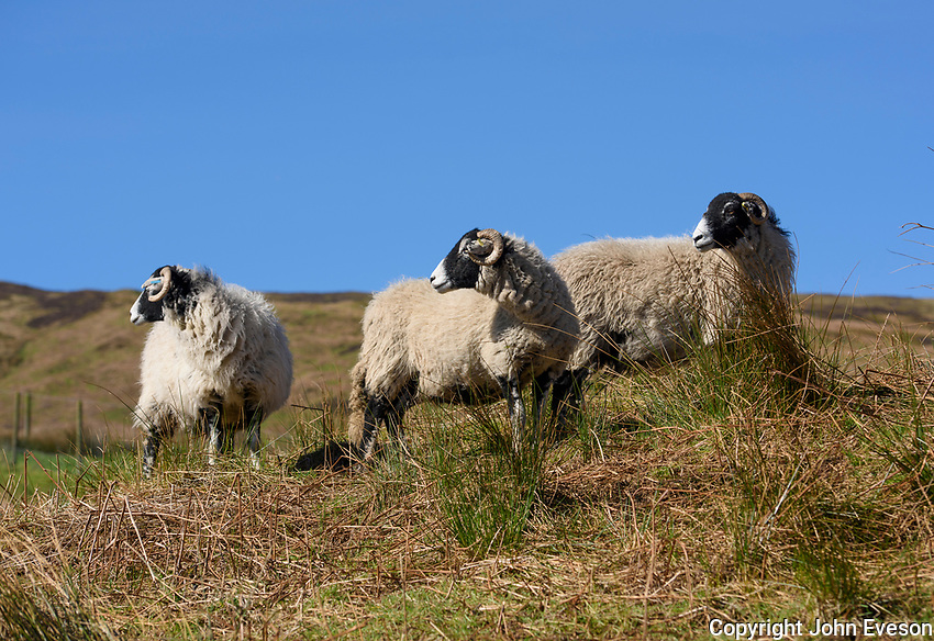 Swaledale ewes on a hillside, Chipping, Lancashire.