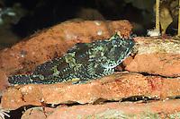 Seebull, Seebulle, Ulk, Langstacheliger Seeskorpion, Taurulus bubalis, Cottus bubalis, Myoxocephalus bubalis, long-spined sculpin, long-spined sea scorpion, longspined bullhead, Longspined sea-scorpion, Rock sculpin