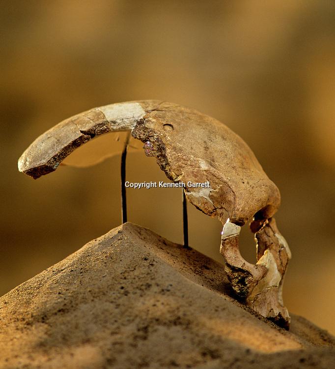 Archaic Homo sapien skull, Florisbad, Bloemfontein,South Africa.