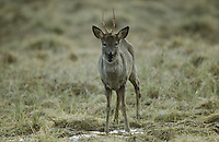 Europäisches Reh, Rehwild, Reh-Wild, Bock, Rehbock, Männchen, Capreolus capreolus, roe deer