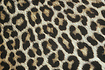 Spotted Leopard fur (Panthera pardus), Africa.