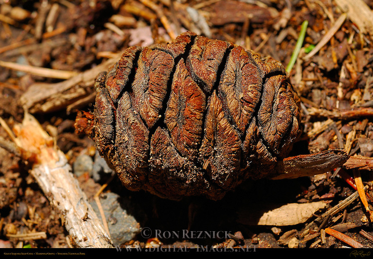 Giant Sequoia Seed Cone, Sequoiadendron giganteum, Mariposa Grove of Giant Sequoias, Yosemite National Park
