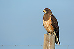 Swainson's Hawk on Fence Post
