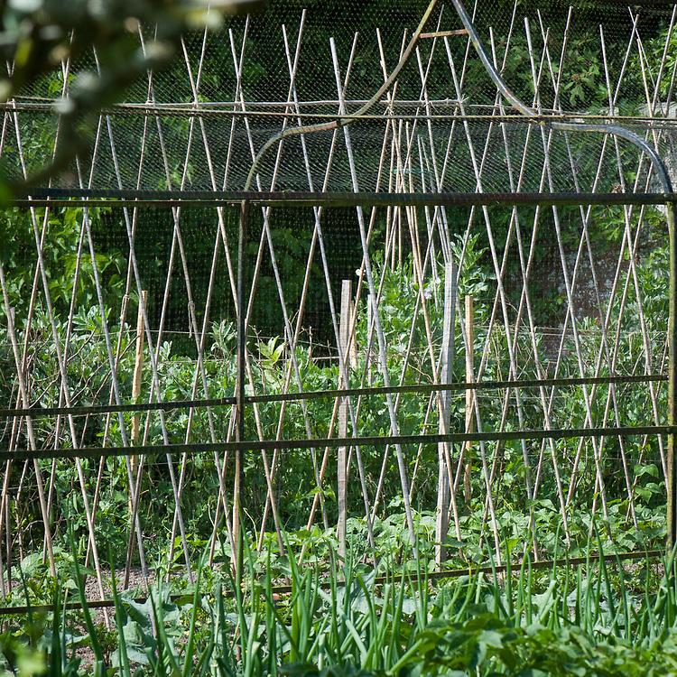 Bean poles in the kitchen garden, Pashley Manor, mid June.