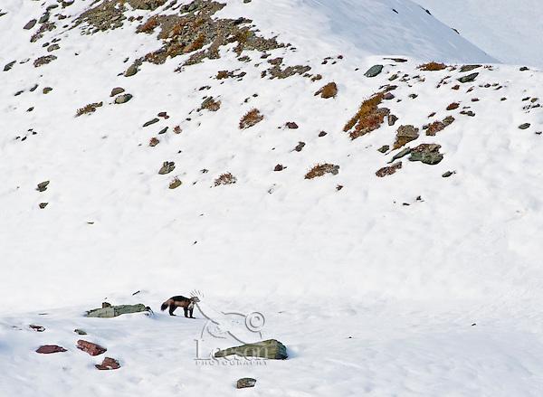 Wild wolverine (Gulo gulo) in high mountain habitat.  Northern U.S. Rocky Mountains/Glacier National Park, Montana.  October.