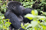 Mountian Gorilla With Injured Finger