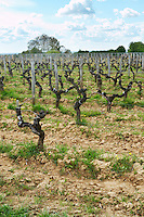guyot trained vines old vine ch moulin du cadet saint emilion bordeaux france