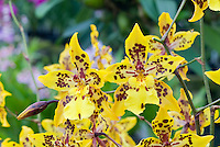 Odontocidium Tiger Crow 'Golden Girl', HCC/AOS Orchid hybrid showing spray of several yellow spotted flowers