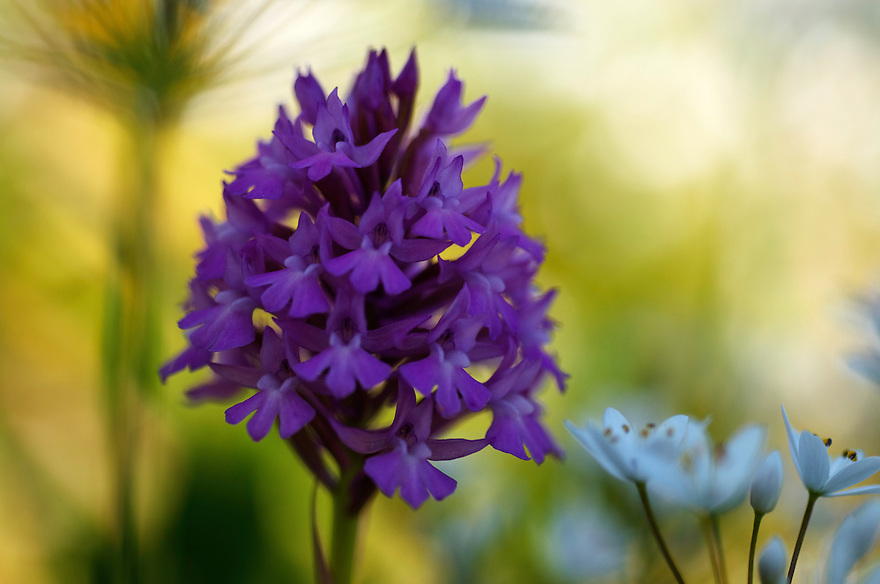 Anacamptis pyramidalis; Apulia; Gargano Peninsula; Italy; Pyramidal Orchid; Vieste