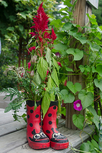 Rubber boots with red salvia plant in community garden, Yarmouth Maine, USA