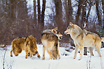 Grey wolves in Boreal Forest, Canada