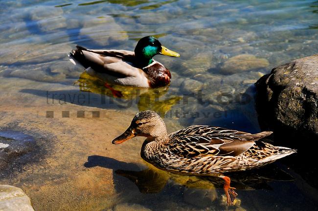 Mallard, Stockente, Anas platyrhynchos, Werdenbergersee, St. Gallen, Schweiz