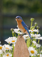 Eastern Bluebird, Lumberton, New Jersey