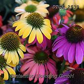 Gisela, FLOWERS, BLUMEN, FLORES, photos+++++,DTGK2539,#f#, EVERYDAY