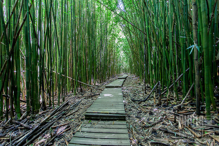 Thick bamboo forest, Pipiwai hiking trail, Haleakala National Park, Kipahulu, Maui