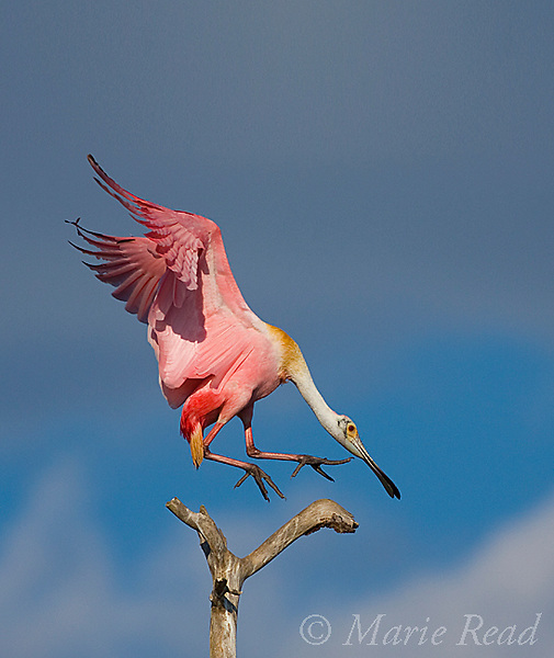 Roseate Spoonbill (Ajaia ajaja), adult in breeding plumage flying in to land on a perch, Orlando, Florida, USA Vertical crop.