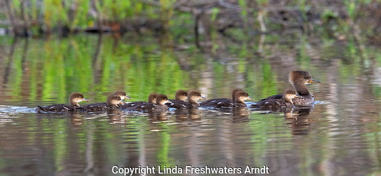 Hooded merganser hen and ducklings swimming on a northern Wisconsin lake.