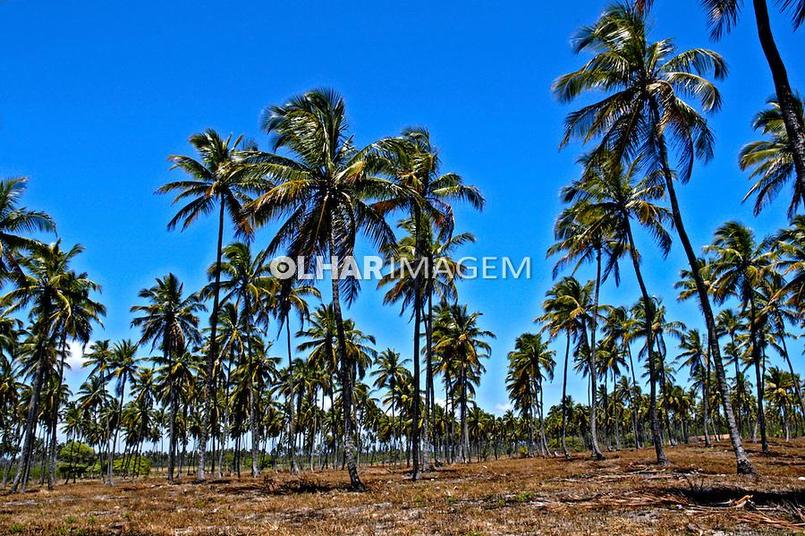 Plantacão de coqueiros em Porto de Galinhas. Pernambuco. 2007. Foto de Sônia Oddi.
