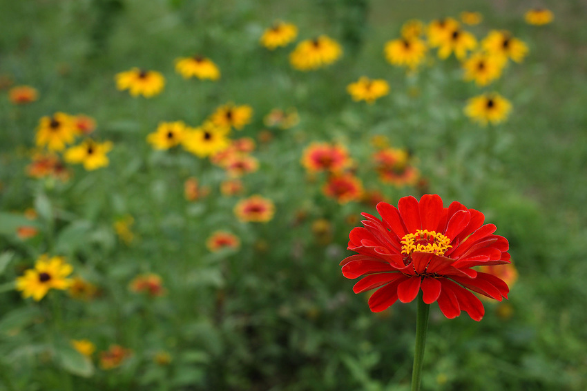 Single zinnia with Firewheel & Lazy Susan background.