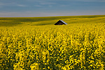 Idaho, North Central, Grangeville,  A barn sits surrounded by a field of yellow crops in mid spring.