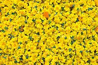 Ceremonial marigolds for garlands and religious ceremonies at Mehrauli Flower Market, New Delhi