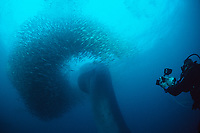 Bryde's whale, Balaenoptera edeni, plunges through a baitball of sardines, Sardinops sagax, as Charles Maxwell films, South Africa (#1 of 3)
