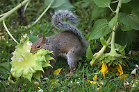 Eastern Gray Squirrel; Sciurus carolinensis; eating sunflower; PA, Philadelphia
