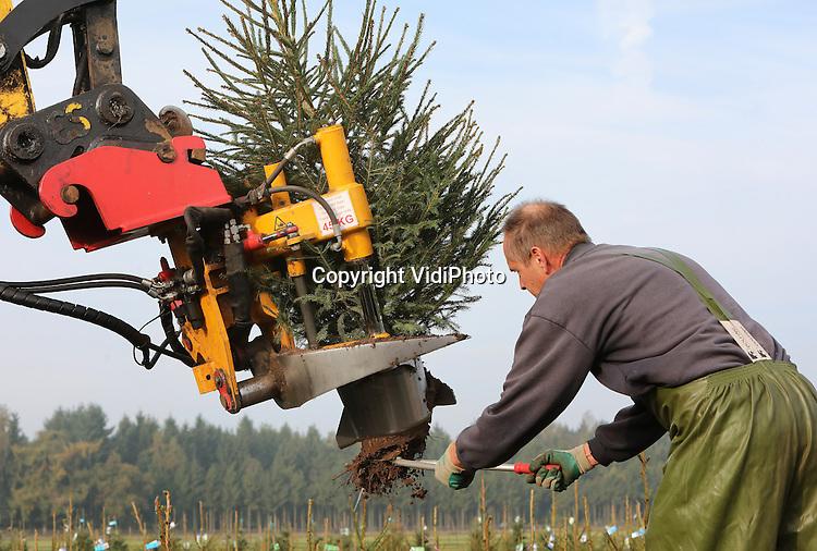 Foto: VidiPhoto<br /> <br /> OENE - Tientallen personeelsleden van kerstbomenleverancier De Buurte uit Oene op de Veluwe, rooien en potten -met de hand en machinaal- woensdag duizenden kerstbomen. Dit jaar is het werk een stuk lichter dan andere jaren. Niet alleen omdat er meer machinaal gewerkt wordt, maar ook omdat er vooral veel vraag is naar kleine kerstbomen. Groot en grof is uit de mode, vertelt operationeel manager Gerrit Tessemaker. Het rooien is dit jaar later begonnen omdat de grond te droog was. En De Buurte, met 60 ha. aan kerstbomen de grootste leverancier van ons land, verhandelt alleen bomen met kluit en opgepot. Zo'n 80.000 kerstbomen worden er de komende weken geleverd aan de diverse tuincentra en groothandelsbedrijven. Bijna 90 procent is bestemd voor de binnenlandse markt. Volgens Tessemaker blijft de groene kerstboom ongekend populair in huisgezinnen. De kunstkerstboom is nagenoeg verdwenen.