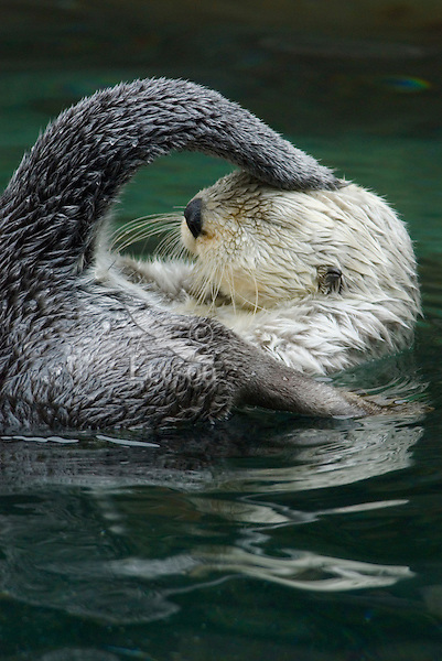 Sea Otter (Enhydra lutris) gathering oil from oil gland near base of tail for grooming--helps fur and skin be more waterproof.