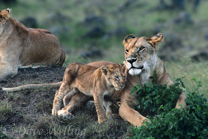 656255083 A wild African lioness panthera leo interacts with her cub in Ngorogoro Crater, Tanzania.