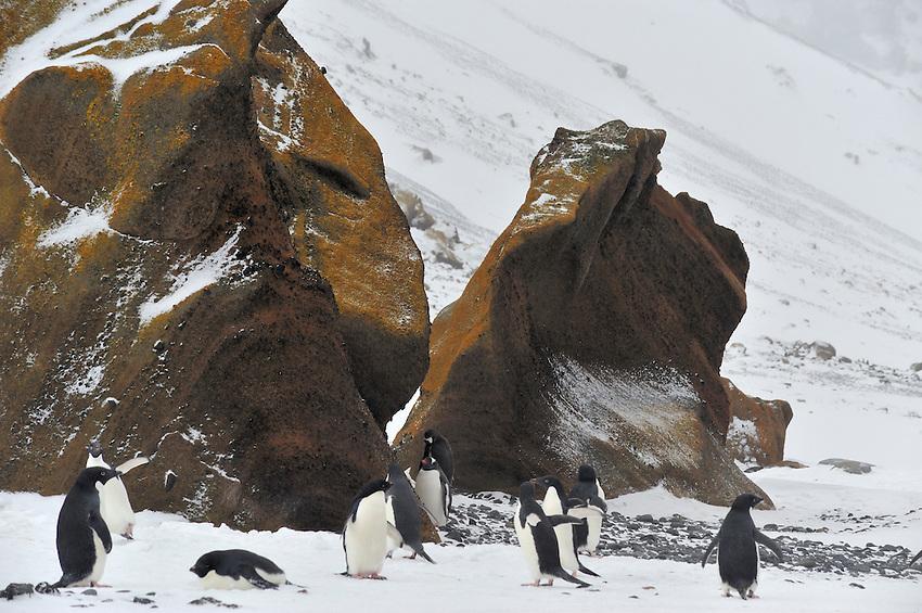 Adelie & Gentoo Penguins at Brown Bluff