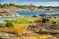 Boskap på bete på Långviksskär i Stockholms ytterskärgård