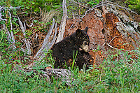 "Wild Black Bear (Ursus americanus) cub.  Western U.S., spring. (This is what is known as a ""coy""--cub of the year.)  Playing on old stump--will be covered by wood chips before it is done--see photos #F7A4986, 4996, 4998 and 5002."