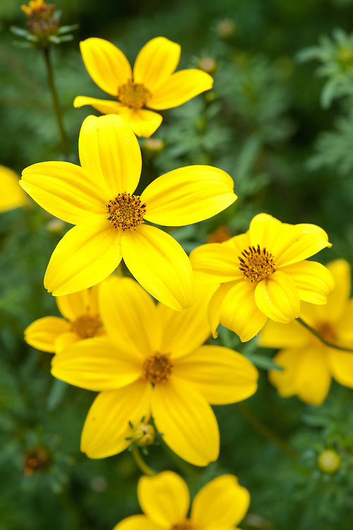 Bidens ferulifolia 'Golden Eye', early August. A short-lived perennial usually grown as an annual. Native to southern USA and Mexico.