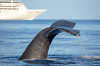 A humpback whale, Megaptera novaeangliae, lifts it's fluke in front of a large cruise ship off the island of Maui, Hawaii.