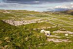 Sheep grazing limestone scenery, Malham, Yorkshire Dales national park, England, UK