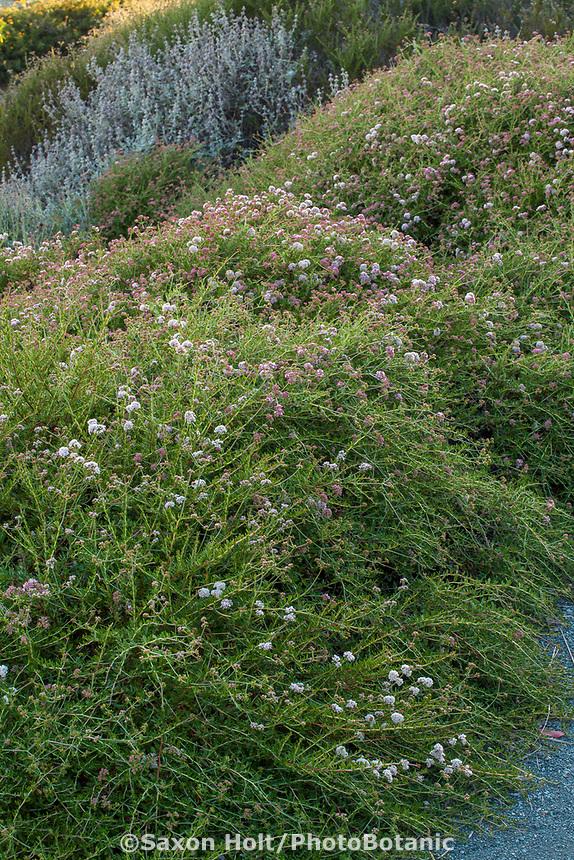 Eriogonum fasciculatum 'Theodore Payne' (California Buckwheat) at Leaning Pine Arboretum, California garden