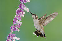 Black-chinned Hummingbird, Archilochus alexandri, immature male feeding on Mexican Bush Sage(Salvia leucantha),Tucson, Arizona, USA, September 2006