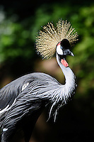 Two Eastern African Crowned Crane