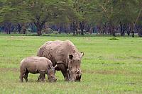 White rhinos in Lake Nakuru National Park, Kenya