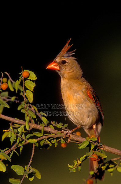 Northern Cardinal, Cardinalis cardinalis, young male eating berries of Desert Hackberry (Celtis pallida) , Willacy County, Rio Grande Valley, Texas, USA