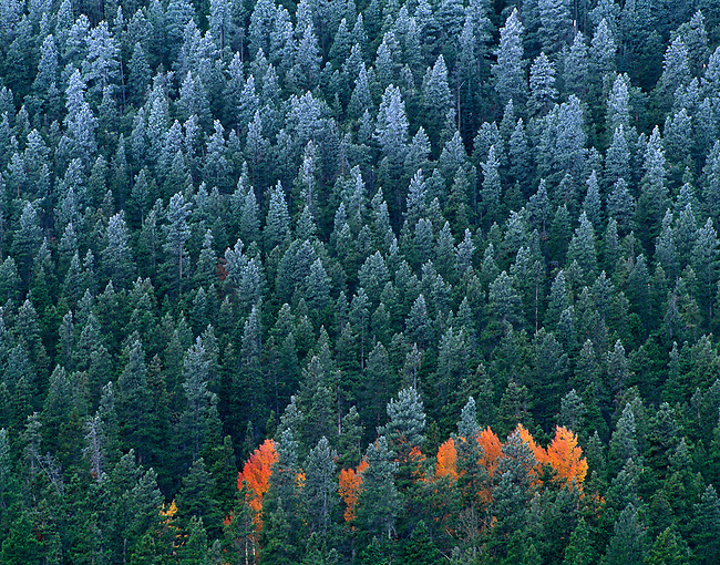 fall, frost, near Hidden Valley, aspen, evergreens, conifers, spruce, Rocky Mountain National Park, Colorado, USA